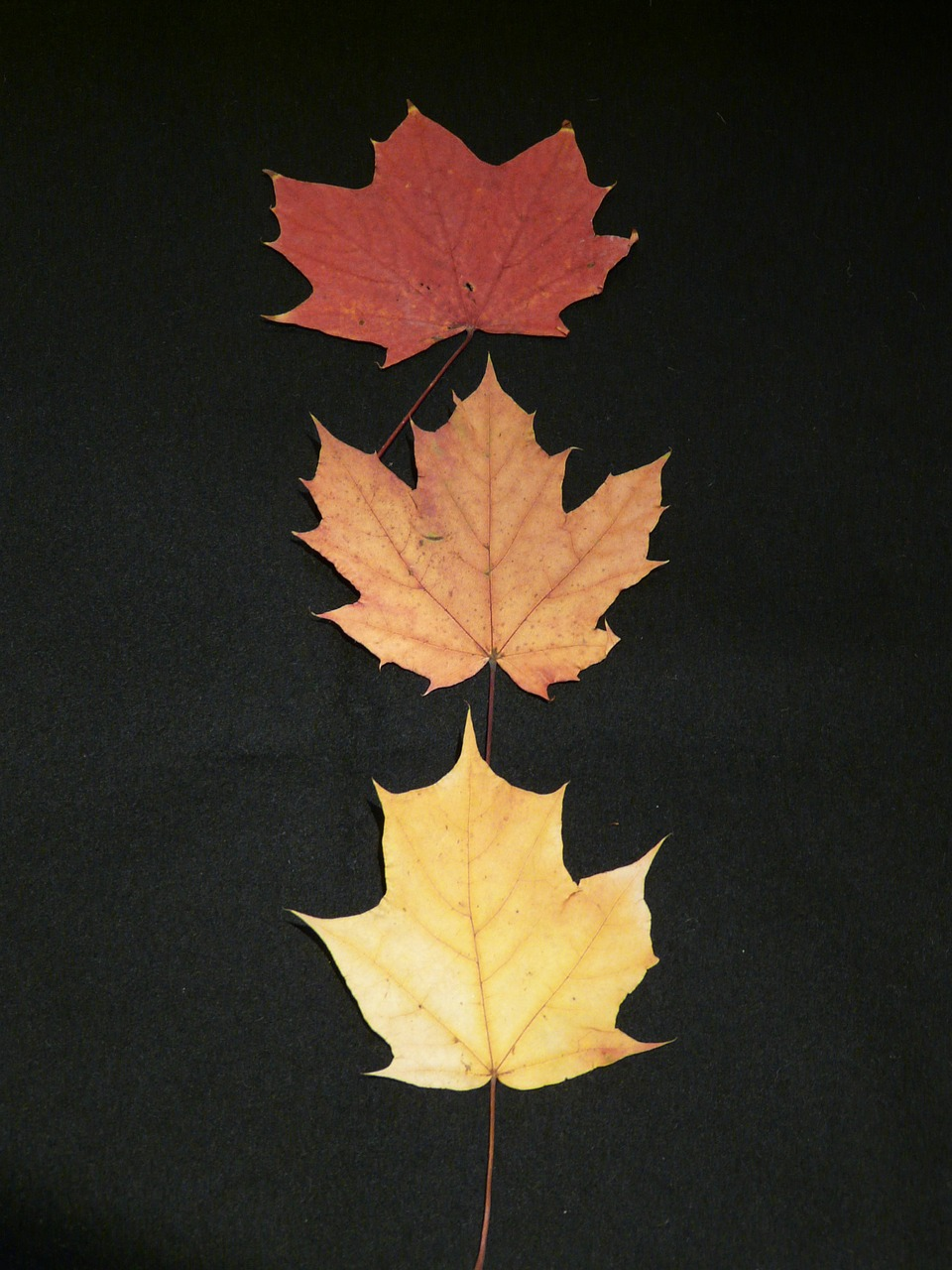 maple-leaves-63224_1280